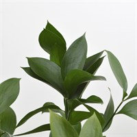 Greenery Hard Ruscus (x 1 Bunch)