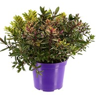 Hebe Planter Quattro (4 varieties in 1 pot) in 23cm Pot