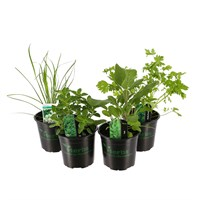 Herb Plant (Collection 5) 1L Pot - Set of 4