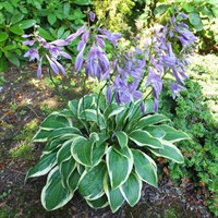Hosta Bedford Rise And Shine 1L