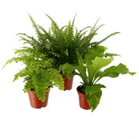 Indoor Fern Houseplant Set of 3 - Asplenium, Adiantum & Nephrolepsis Ferns