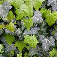 Ivy Hedera Helix Plant - Single 10cm Pot
