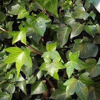 Ivy Hedera Helix Plant - Single 1L Pot
