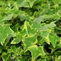 Ivy Hedera Helix Plants - Set of 10 x 10cm Pots