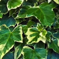Ivy Hedera Helix Plants - Set of 5 x 1L Pots