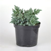 Juniperus Blue Star - 3Lt Pot (Dwarf Conifer)