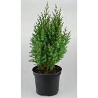 Juniperus Chinensis Stricta - 3lt (Dwarf Conifer)
