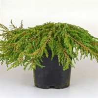Juniperus Communis Green Carpet - 2/3lt (Dwarf Conifer)