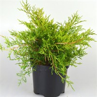 Juniperus Media Old Gold - 3lt (Dwarf Conifer)