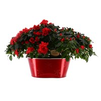 Azaleas x 2 in Large Red Metal Oval Pot - Large Red