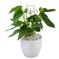 Large White Anthurium Set Into A White Ceramic Pot