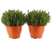 Lavender Alexandra 23cm Pot - Set of 2