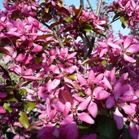 Malus 'Improved Profusion'