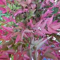 Nandina Domestica 'Obsessed' - Sacred Bamboo Specimen Shrub in a 27cm Pot