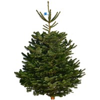 Nordmann Fir 4-5ft (125-150cm) Real Cut Christmas Tree