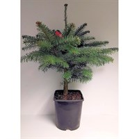 Nordmann Fir 4.5ft Pot (50-60cm) Real Pot Grown Christmas Tree