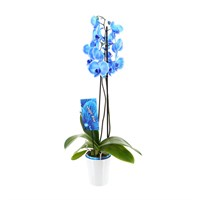 Orchid (Blue Large) Houseplant in White Ceramic Pot