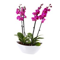 Orchid Dark Pink (Phalaenopsis) Double Stem Houseplant In White Plastic Boat - 60 to 70cm