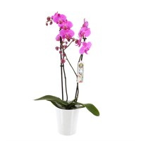 Orchid (Pink) Houseplant in White Ceramic Pot