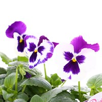 Pansy F1 Blue White Bi Colour 6 Pack Boxed Bedding