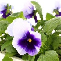 Pansy F1 Beaconsfield 6 Pack Boxed Bedding