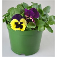 Pansy F1 Hybrid 2L Pot Bedding