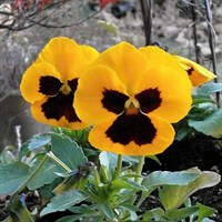 Pansy F1 Orange Blotch 6 Pack Boxed Bedding
