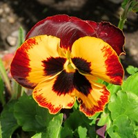 Pansy F1 Red Wing 6 Pack Boxed Bedding