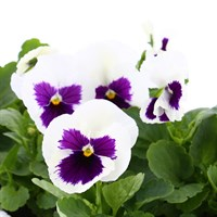 Pansy F1 White With Blotch 6 Pack Boxed Bedding