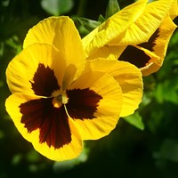 Pansy F1 Yellow With Blotch 6 Pack Boxed Bedding