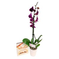 Orchid Dark Pink (Phalaenopsis) Houseplant & Chocolate Gift Set