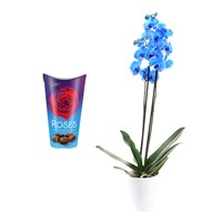 Orchid Blue (Phalaenopsis) Houseplant & Chocolate Gift Set
