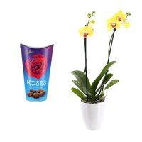 Orchid Yellow (Phalaenopsis) Houseplant & Chocolate Gift Set