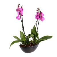 Orchid Pink (Phalaenopsis) Double Stem Houseplant In Black Plastic Boat - 60 to 70cm
