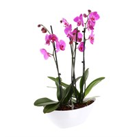 Orchid Pink (Phalaenopsis) Double Stem Houseplant In White Plastic Boat - 60 to 70cm