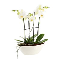 Orchid White (Phalaenopsis) Double Stem Houseplant In White Plastic Boat - 60 to 70cm