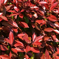 Photinia Fraseri 'Carre Rouge' Specimen Shrub in a 27cm Pot