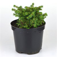 Picea Abies Little Gem - 2/3lt (Dwarf Conifer)