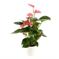 Anthurium Houseplant Pink 17cm Pot