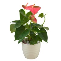 Pink Anthurium Set Into A Cream Ceramic Pot