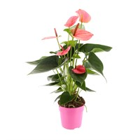 Anthurium Houseplant Pink 12cm Pot