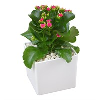 Pink Kalanchoe Set Into A White Square Ceramic Pot