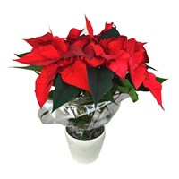 Christmas Poinsettia in a 14cm Cream Ceramic Pot (Medium)