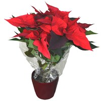 Christmas Poinsettia in a 14cm Red Ceramic Pot (Medium)
