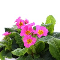Polyanthus F1 Crescendo Rose 6 Pack Boxed Bedding