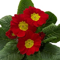 Polyanthus Supernova Cherry 6 Pack Boxed Bedding