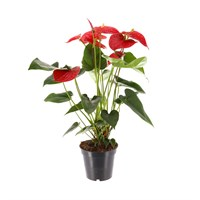 Anthurium Houseplant Red 17cm Pot