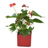 Red Anthurium Set Into A Red Square Ceramic Pot