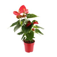 Anthurium Houseplant Red 12cm Pot