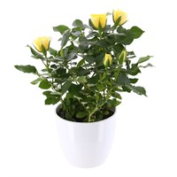 Rose Houseplant Yellow 13cm Pot in a White Ceramic